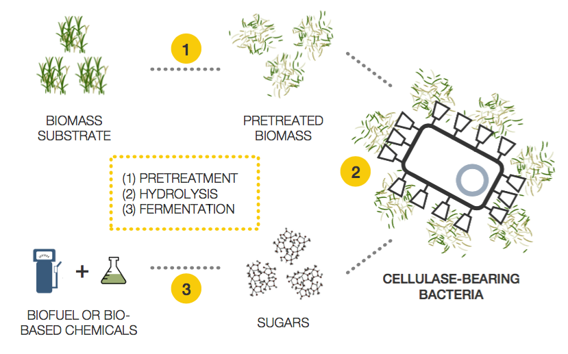 Autodisplay Cellulase Technology